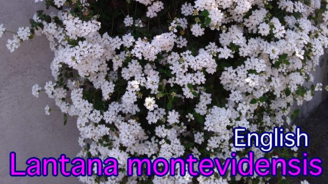 英語 コバノランタナ