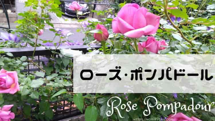 rose-top
