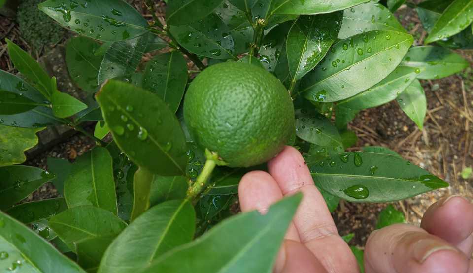 ネーブルオレンジ 家庭菜園