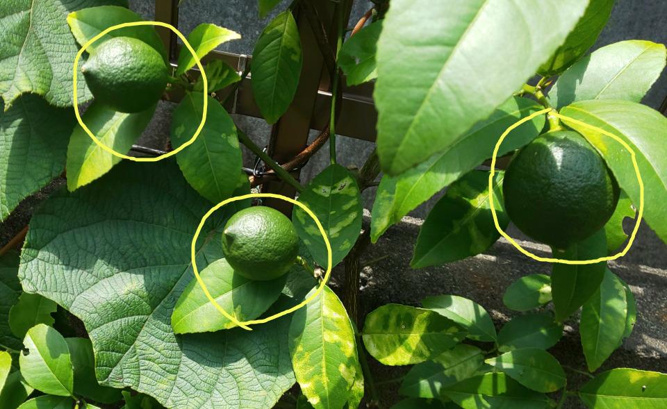 レモン栽培 家庭菜園